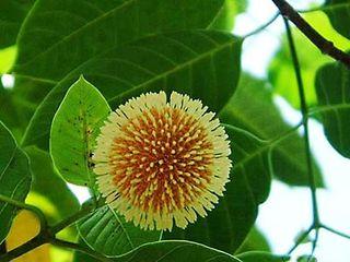 Anthocephalus-indicas-(kadamba)