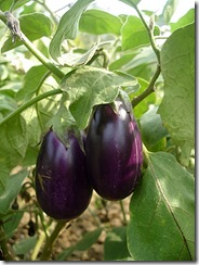 home_grown_brinjals