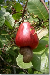 02. cashew-fruit